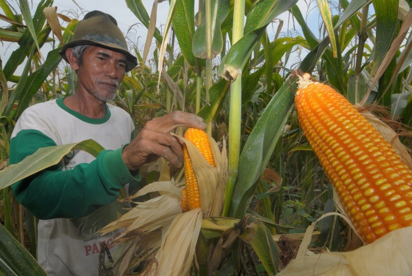 Southeast Sulawesi recorded an increase in corn production mainly in in the regencies of Muna, Konawe, Konawe Selatan, Buton and Kolaka. (Illustration)