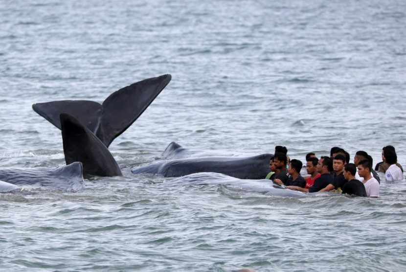 Joint team of officers and residents tried to evacuate stranded whales in Ujong Kareung beach, Aceh Besar, Aceh province, on Monday.